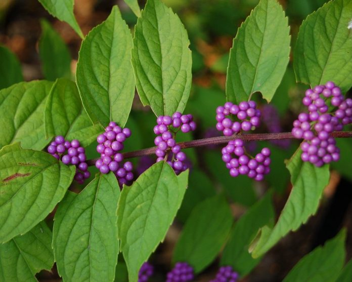 სასწაული მცენარე - კალიკარპა, რომელიც ანტიბიოტიკების მიმართ გამძლეობაში დაგეხმარებათ