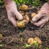 Male hands harvesting fresh organic potatoes from soil, working hands