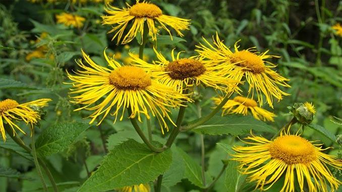 კულმუხო-სამკურნალო მცენარე, რეცეპტი | აგროკავკასია