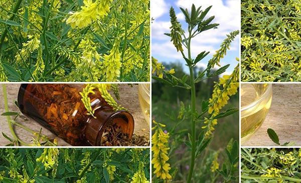 ყვითელი ძიძო – სამკურნალო მცენარე, რეცეპტი   აგროკავკასია